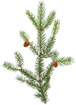 pine_branch-icon